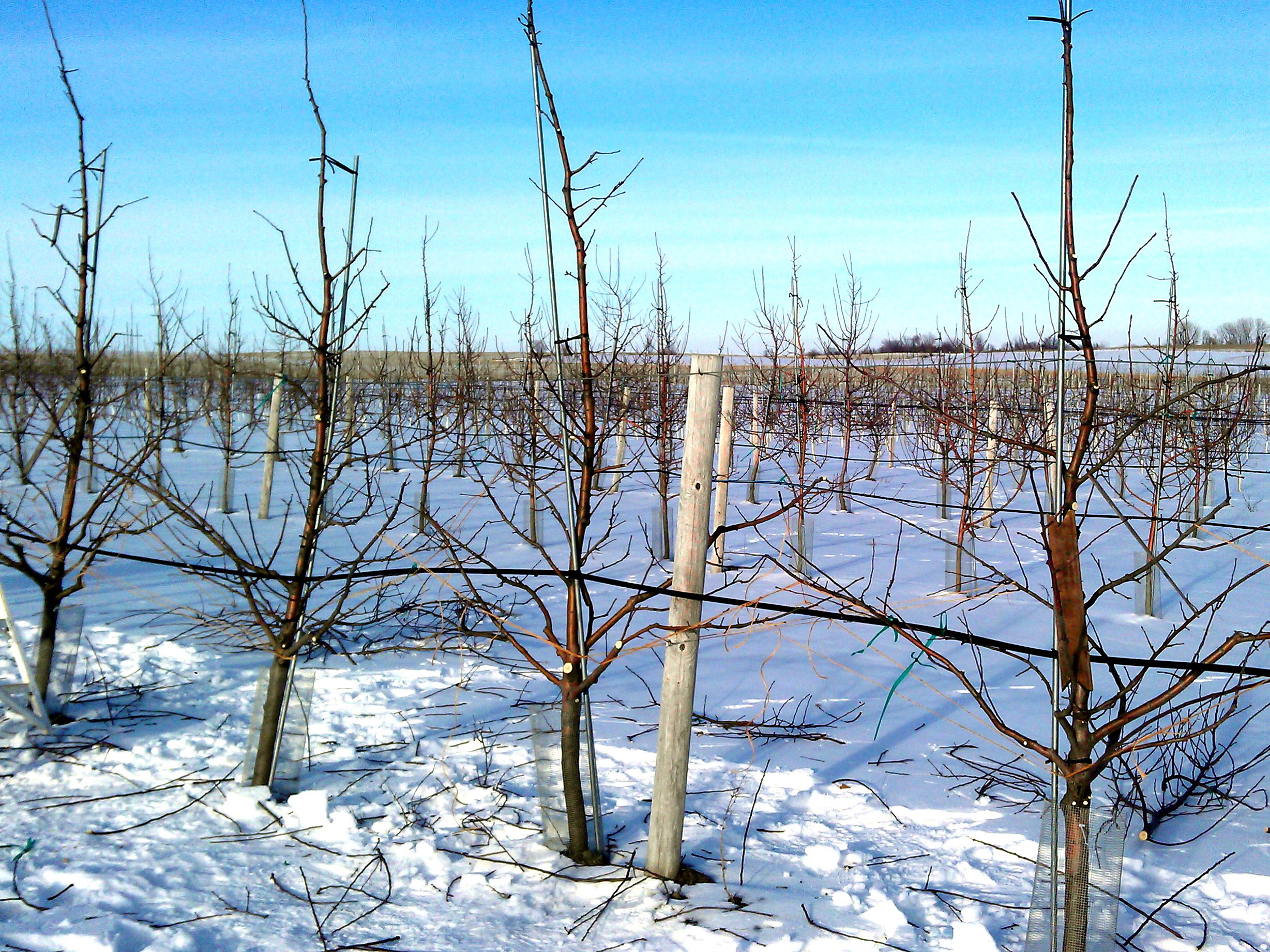 Orchard row after winter pruning
