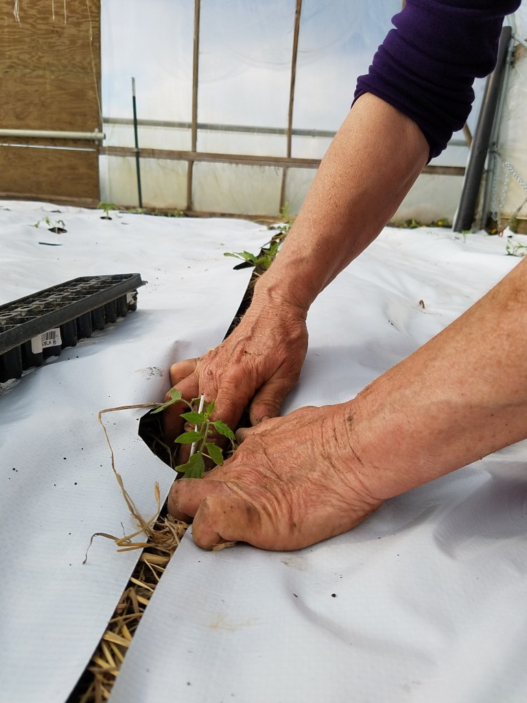 Mary plants the tomato seedling in the hoophouse.